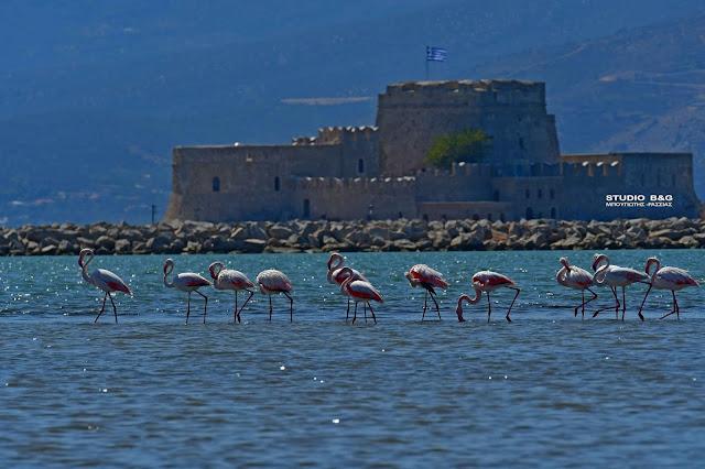 Ταξιδιάρικα φλαμίνγκο ξαποσταίνουν στο Ναύπλιο