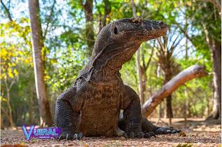 Contoh Hewan Reptil Komodo