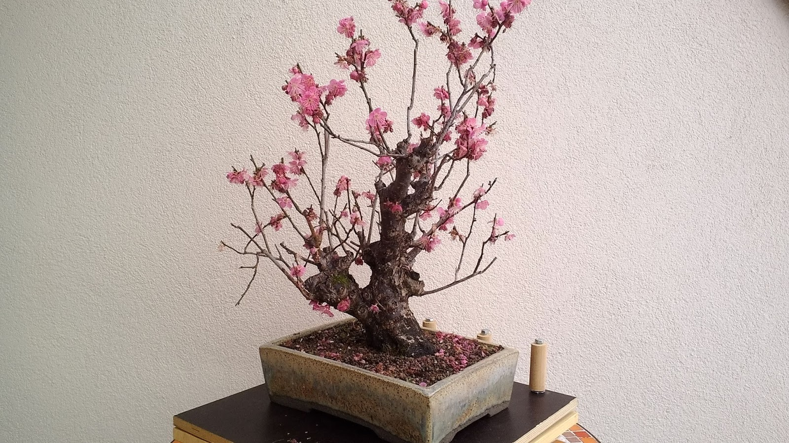 Just Another Bonsai Enthusiast Prunus Mume Repot And Trimming