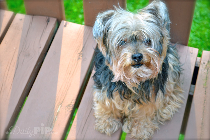 Pip, the one and only Yorkie legend and founder of The Daily Pip