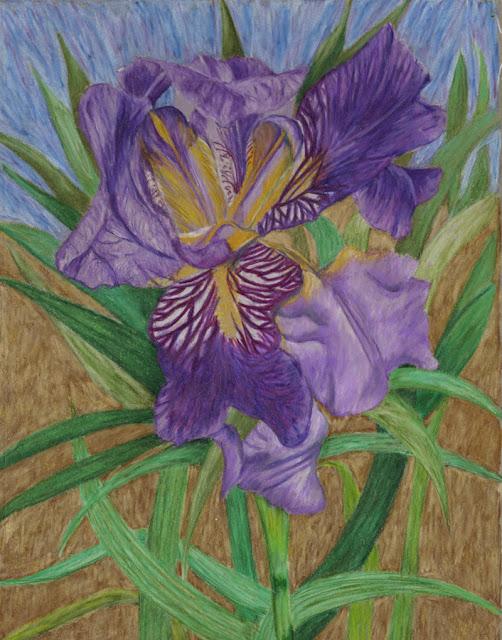 Garden drawing -- iris
