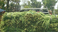 pohon kacang panjang, benih pertiwi, manfaat kacang panjang, tumis lacang panjang, cara menanam kacang panjang, jual benih kacang panjang, toko pertanian, toko online, lmga agro