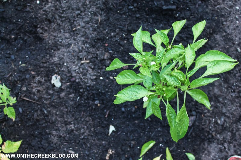 Pepper plant growing in my garden! | On The Creek Blog