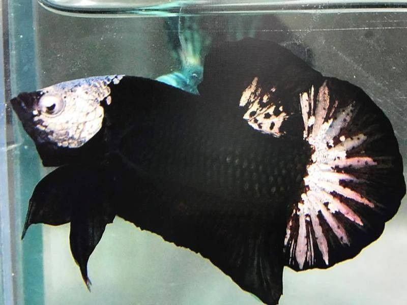 Black Betta Fish Mask
