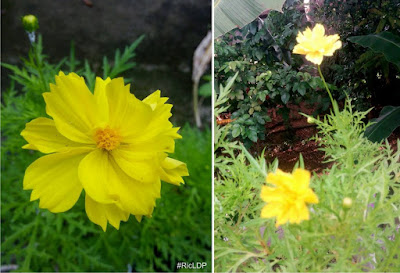 yellow cosmos in bloom