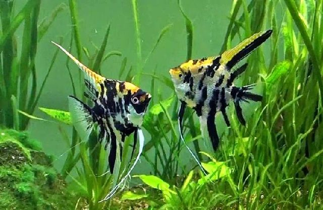 Pemijahan Ikan Manfish