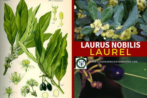 El Laurus Nobilis, Laurel tine hojas duras con figura de hierro de lanza con el borde entero