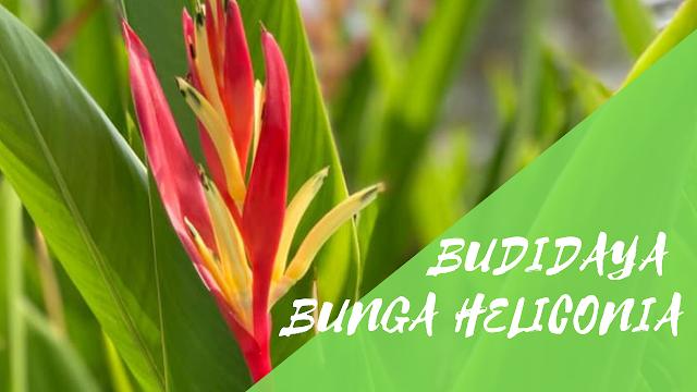 Budidaya Bunga Heliconia