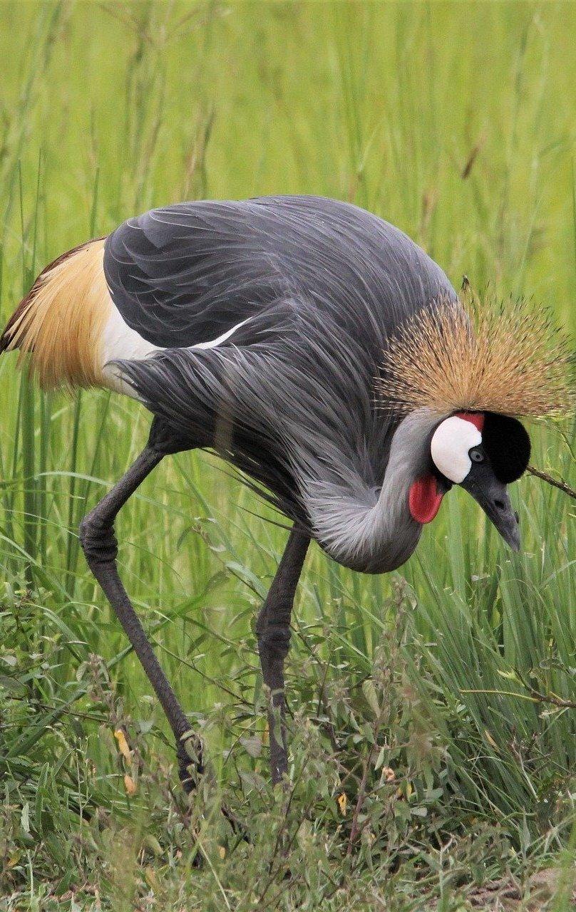 Beautiful grey crowned crane.
