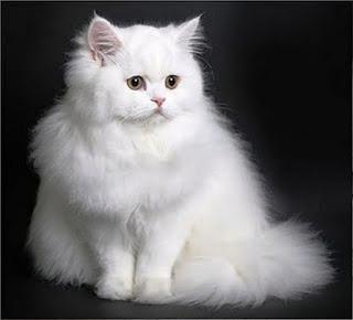 Gambar Kucing Persia Lucu 100016