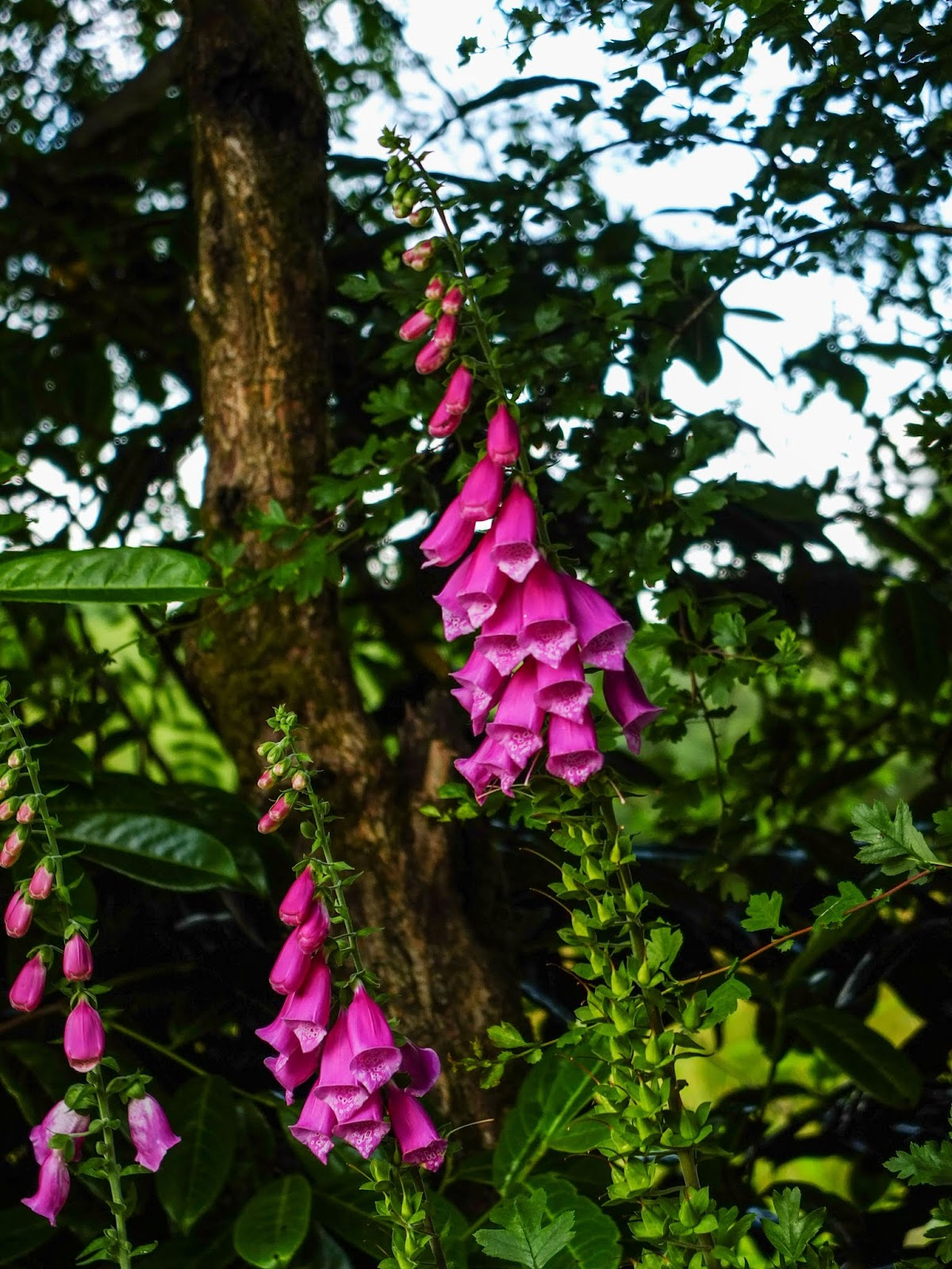 A pair of purple foxgloves in the ditch.