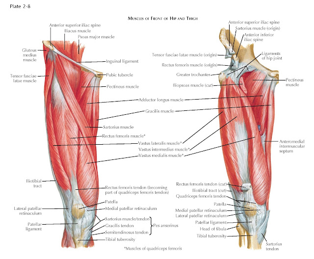 MUSCLES OF FRONT OF HIP AND THIGH