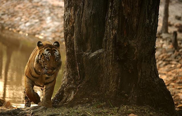 Tiger tales at Sunderkhal