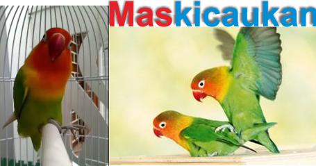 Unduh 55  Gambar Burung Lovebird Ngapal  Terbaru Free
