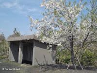 Sakura (blooming cherry tree) by volcano shelter, Sakurajima, Japan