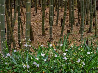 Bamboo grove and Shaga (Iris japonica) flowers: Kencho-ji