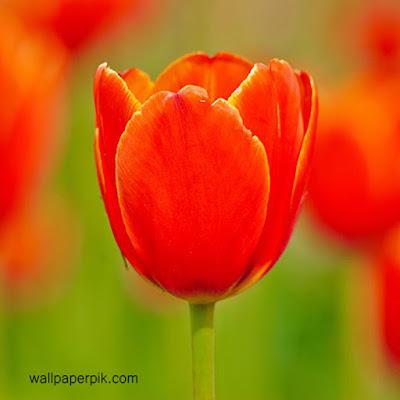 cute tulip  wallpapers download