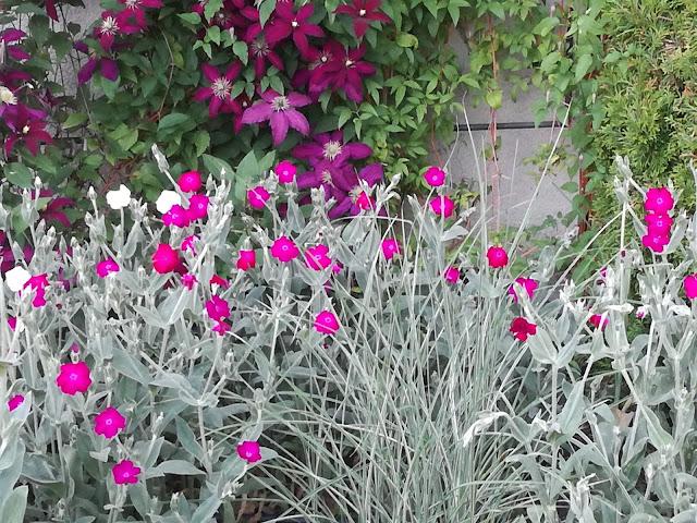 szare, srebrnoszare rośliny, amarantowe kwiaty