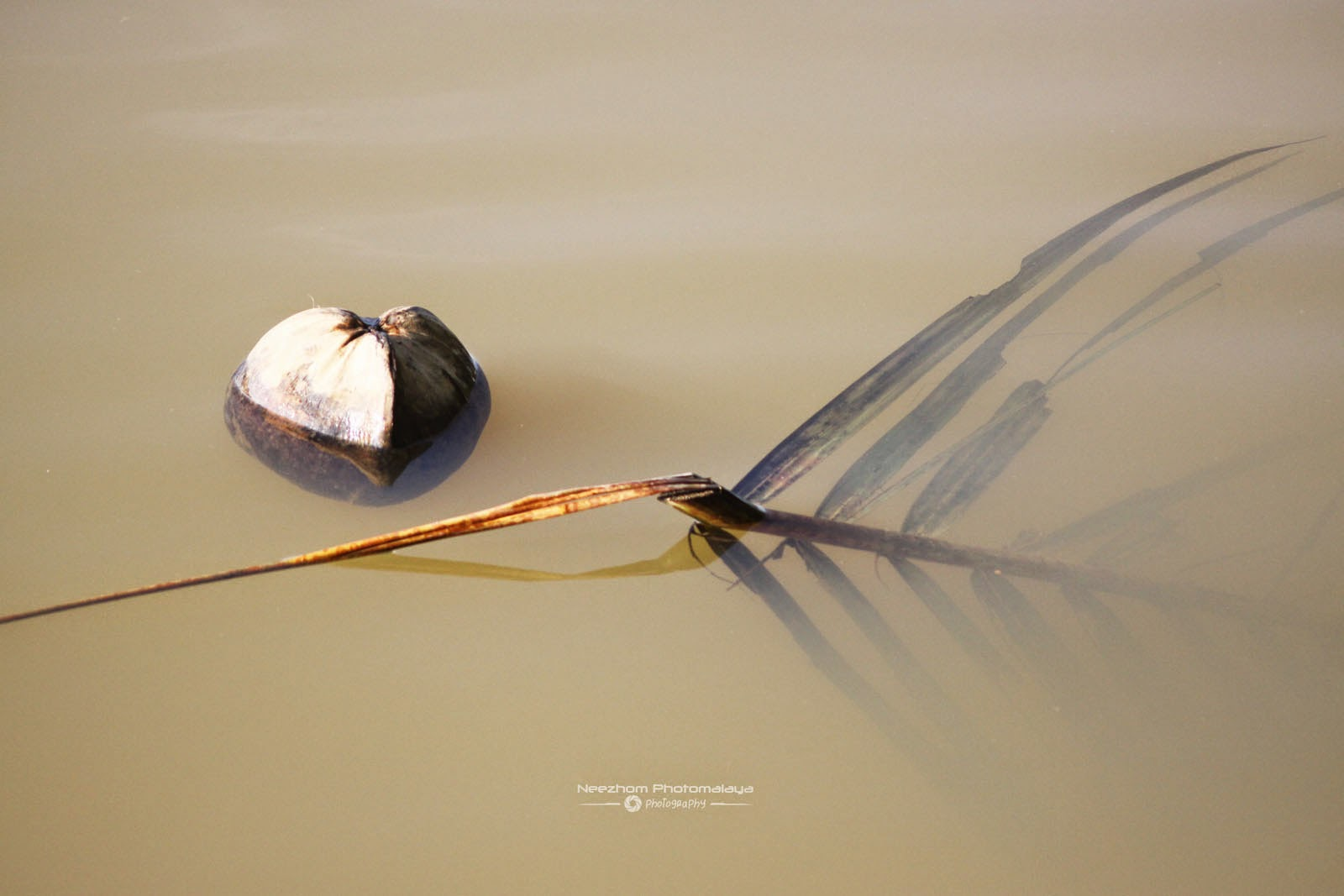 Coconut and its leaves adrift together
