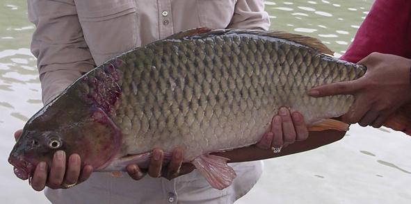 Umpan Terbaik Ikan Mas Cirata Terbaru