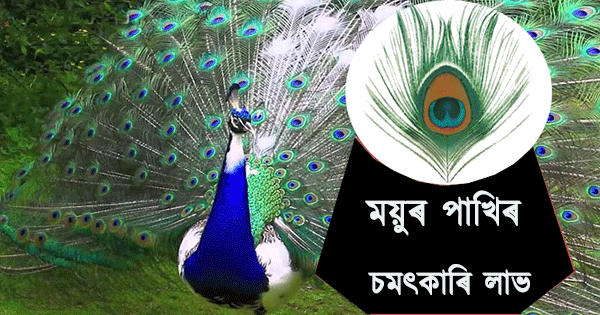 Peacock Feather benefits