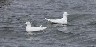 Ivory Gulls in Newfoundland