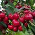 Γιαπωνέζα μύγα εξολοθρεύει τις κερασιές στην Ελλάδα