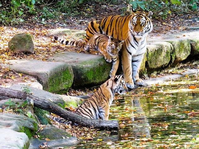 Всемирный день тигра: кто спасет вымирающий вид