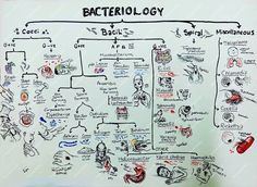 Glorious Age of Microbiology  Bacteriology Chart