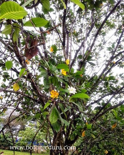 Gardenia carinata