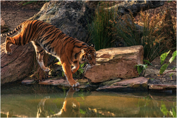 Tiger Reserves in India - Project Tiger