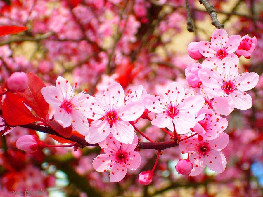 Gambar Bunga Sakura Related Keywords  Gambar Bunga Sakura