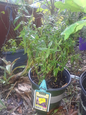 angelonia plant