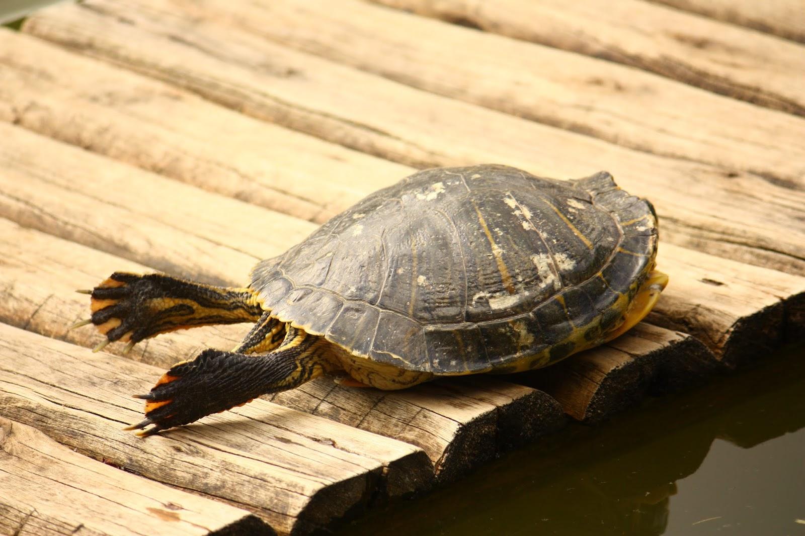 Tartaruga (ou cágado) se espreguiçando sob o sol ilustra este post sobre o Shijing, o Livro das Canções.