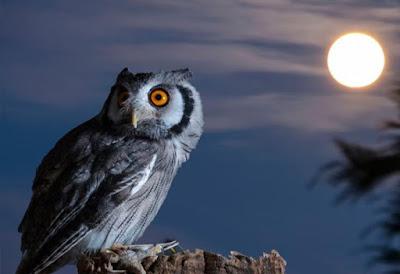 Fakta menarik tentang burung hantu
