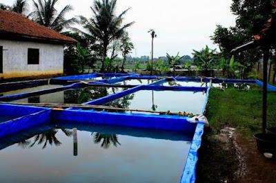 Analisis usaha budidaya ikan lele 1000 ekor di kolam terpal