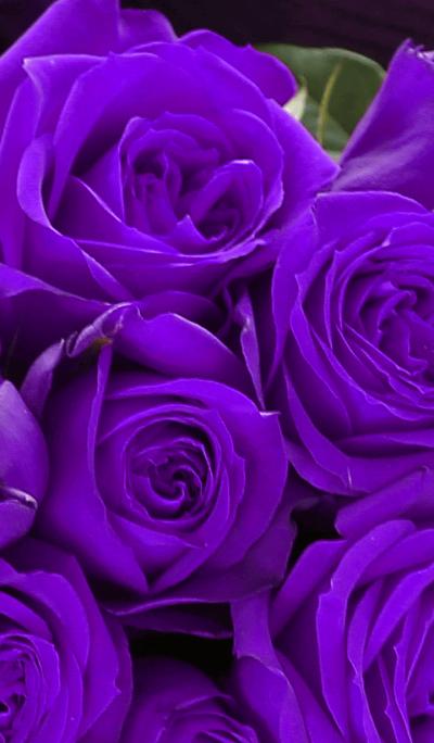 [flower]violet rose
