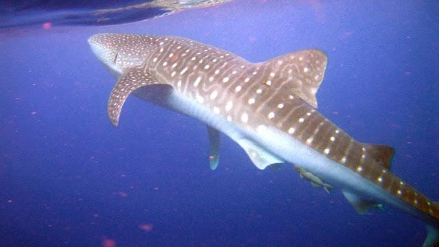 maior peixe do mundo