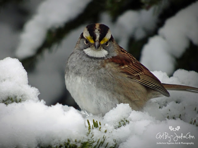 White-Throated Sparrow In Winter 5 Photos