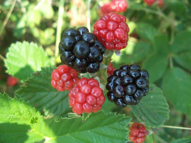 Blackberries are expensive to buy in the grocery store. Grow your own instead!