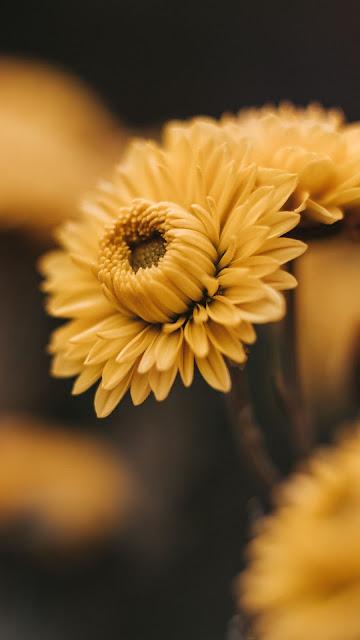 Yellow flowers, petals, bloom, macro