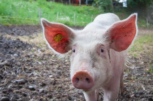 Elon Musk presenta los primeros cerdos con implantes que 'leen el cerebro'