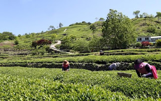 UN's FAO Named 4 Asian Tea Cultivation Sites as GIAHS