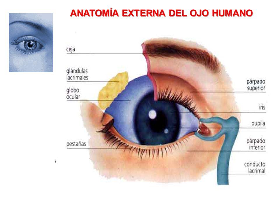 Asombroso Anatomía Externa Del Ojo Cresta - Imágenes de Anatomía ...