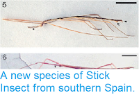 https://sciencythoughts.blogspot.com/2013/06/a-new-species-of-stick-insect-from.html