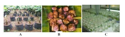 contoh benih bibit pisang