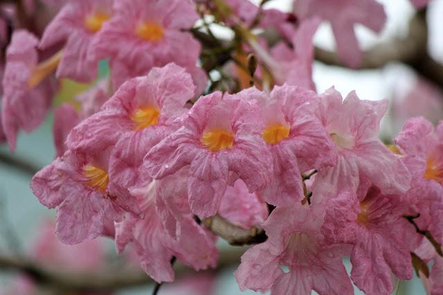 Bunga Sakura Muka Kuning Batam