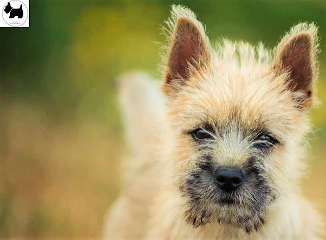 Cutest Dog Breeds, Best Dog, Cairn Terrier Dog puppies
