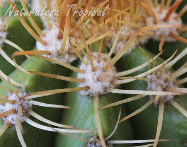 Areola del cactus Melocactus harlowii