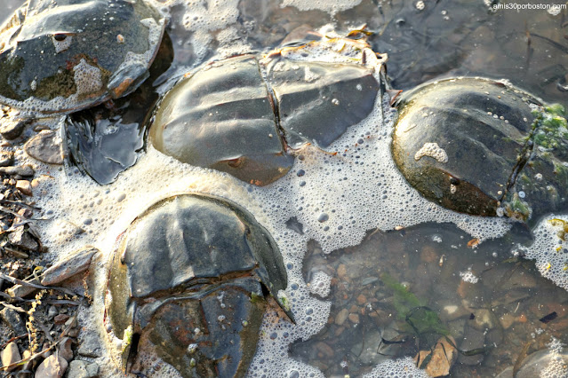 Cangrejos Herradura o Horseshoe Crab en New Hampshire